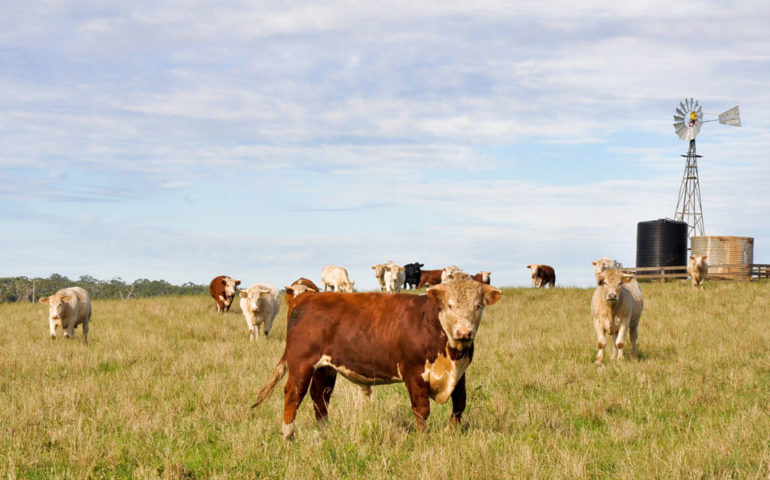Cow-in-field