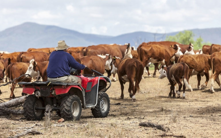 cattle-herd-quad